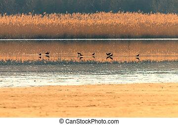 Northern Lapwing flock in flight (Vanellus vanellus) sunset