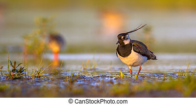 Northern lapwing in wetland habitat with warm colors -...
