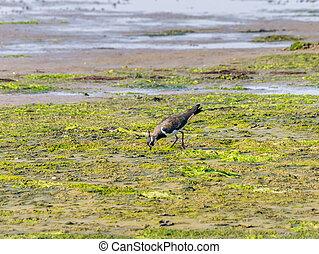 Northern lapwing, vanellus vanellus, feeding on wetland of Waddensea, Netherlands