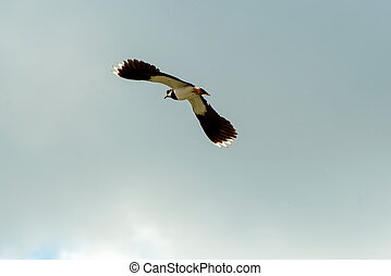 Northern lapwing (Vanellus vanellus) in flight on sky background.