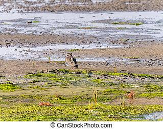 Northern lapwing, vanellus vanellus, on wetland of Waddensea, Netherlands