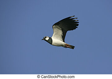 Northern lapwing, Vanellus vanellus
