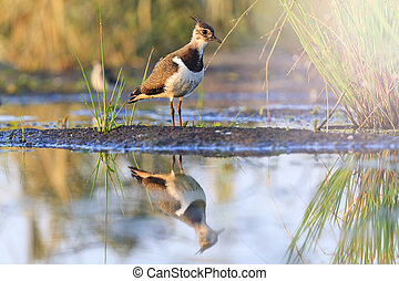 Northern lapwing young bird reflection in water with sunny hotspot