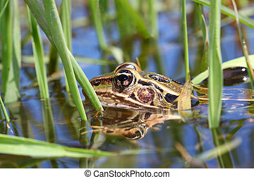 Northern Leopard Frog (Rana pipiens) peeks out of the water...