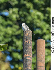 Northern Mockingbird perched on rusty iron pipe