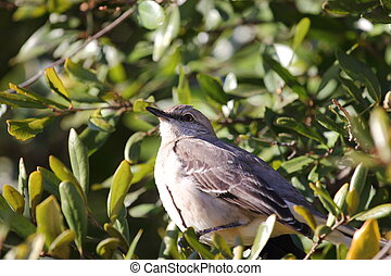 Close up view of a northern mockingbird sitting in a tree