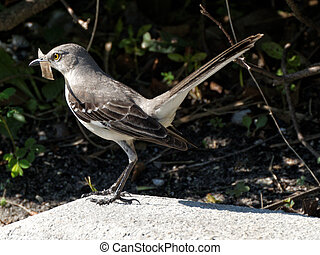 Northern Mockingbird Gathering Materials for a Nest
