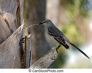 Northern Mockingbird collecting materials for nest.