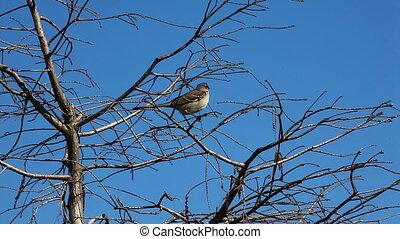 Northern Mockingbird, Mimus polyglottos, in the Everglades