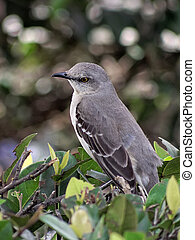Northern Mockingbird - Lost in Thought