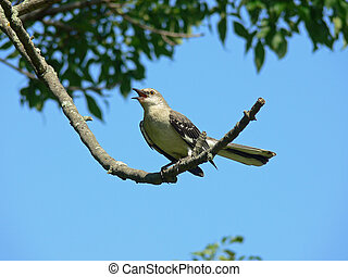 Northern Mockingbird Mimicking With Sky Background