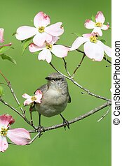 Northern Mockingbird (Mimus polyglottos) in a dogwood tree with flowers
