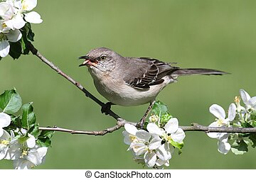 Northern Mockingbird (Mimus polyglottos) in an apple tree with flowers