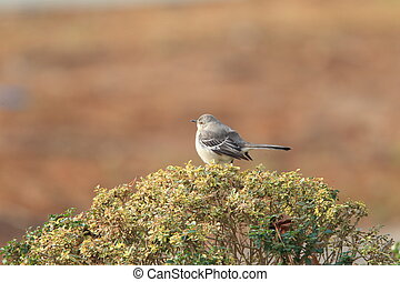 Northern Mockingbird (Mimus polyglottos) in North America