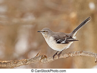 Northern mockingbird, Mimus polyglottos, perched on a tree branch