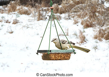 Northern Mockingbird (Mimus polyglottos) on a feeder in snow