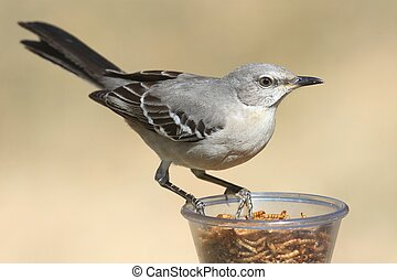 Northern Mockingbird (Mimus polyglottos) on a feeder