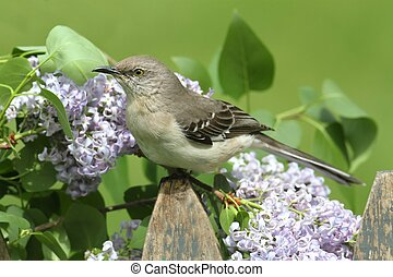 Northern Mockingbird (Mimus polyglottos) on a fence with lilac flowers