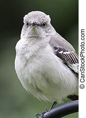 Northern Mockingbird (Mimus polyglottos) on perch in spring