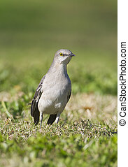 Northern Mockingbird, Mimus polyglottos, on shallow cut grass viewed from front
