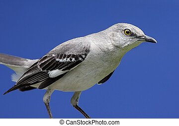 Northern Mockingbird (Mimus polyglottos) with a blue sky background