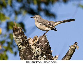 Mockingbird perched on stump with blue sky background