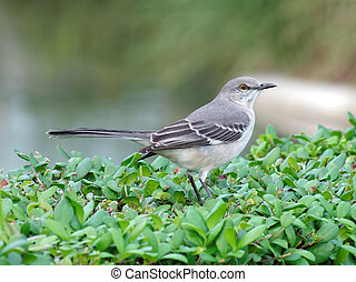 Northern Mockingbird on a bush in Florida