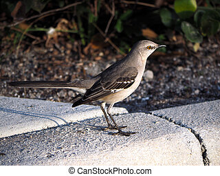 Northern Mockingbird on Curb