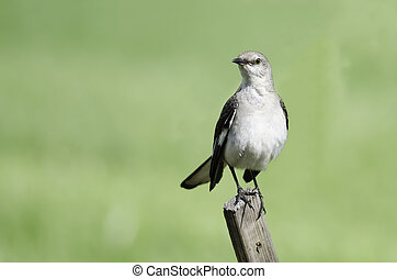 Northern mockingbird perched on fence post with green background