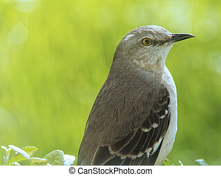 Northern Mockingbird on Hedge