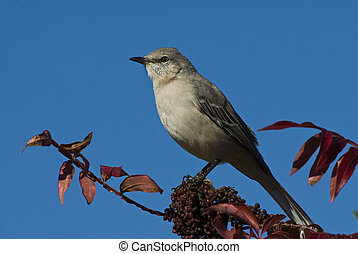 Northern Mockingbird, perched atop Sumac berries against bright blue sky