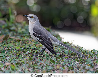 Profile of a Northern mockingbird, perched on a bush