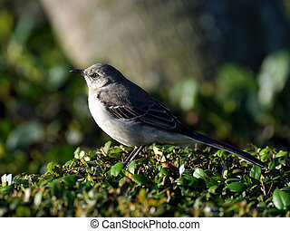 Northern Mockingbird Perched on a Shrub