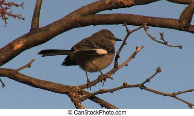 Northern Mockingbird Perched On Branch - Northern...