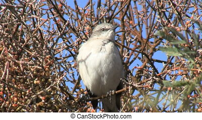 Northern Mockingbird Perched On Branch - Northern...