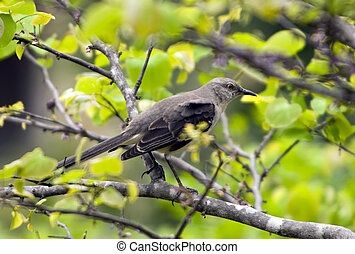 Northern Mockingbird perched on tree branch in early spring.