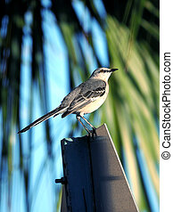 Northern Mockingbird Perching on Street Sign