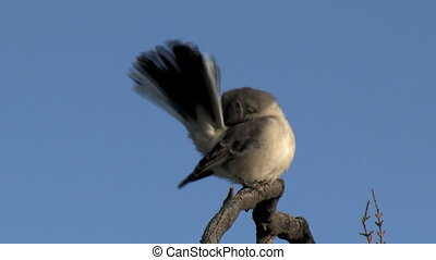 Northern Mockingbird Preening - Northern Mockingbird...