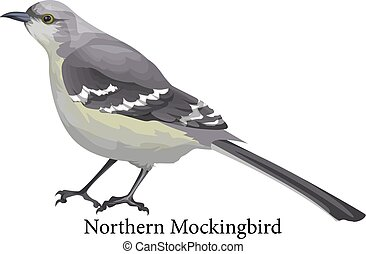 Northern mockingbird realistic exotic with grey beak -...