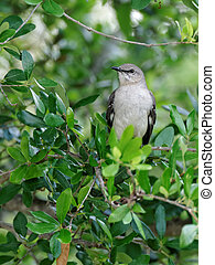 Northern Mockingbird Sitting in a Tree