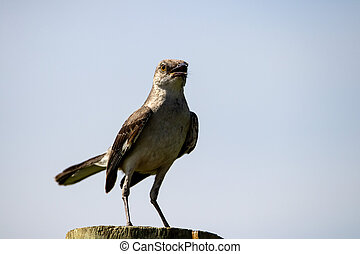 A Northern mockingbird sitting on a fence post on a sunny day.