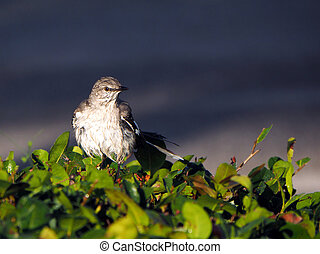 Northern Mockingbird Soaking Wet