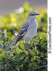 Northern Mockingbird - St. Petersburg, Florida
