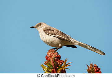 Northern Mockingbird perched in a tree.