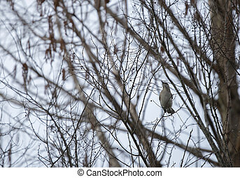 Wild northern mockingbird i(Mimus polyglottos) n bare trees during the winter season