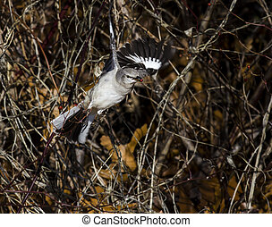 Northern Mockingbird with berry in bill launches into flight