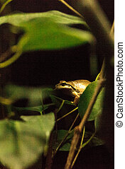 Northern Pacific Tree Frog Pseudacris regilla can be found...