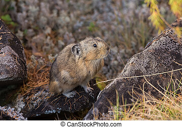 northern pika on rock