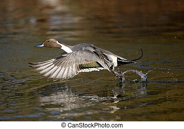 Northern pintail, Anas acuta, male flight, Arizona, USA, ...