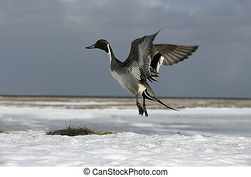 Northern pintail, Anas acuta, single male in flight, winter...